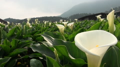 Garden Calla Lily in Taiwan Seven Star Mountain-Yang Ming Shan National Park-Dan Stock Footage