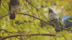 Autumn, pigeons on a branch Stock Footage