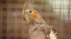 Java sparrow Stock Footage