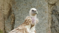 A griffon vulture, Gyps fulvus, preening his feathers Stock Footage