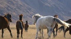 Stock video 4K horses in the valley among the yellow grass Stock Footage