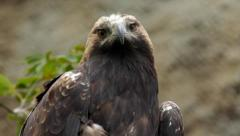 The head, neck and shoulders of an imperial eagle, Aquila heliaca, Stock Footage