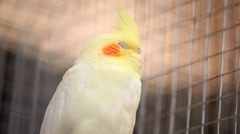 Cockatiel Bird Shaking Of Feather In Cage Stock Footage
