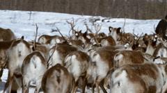 Reindeer on pastures. Reindeers Herd. - stock footage
