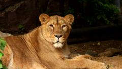 Long eye contact with a sunlit young lioness, lying on dark background. - stock footage