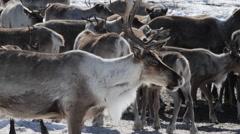 Reindeers Herd - stock footage