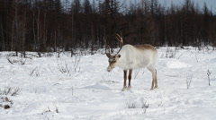 A reindeers in a winter scenery - stock footage