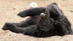 A Himalayan black bear, Ursus thibetanus, is lying in sand hollow on his back Stock Footage