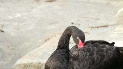 The head, neck and back of an Australian black swan, preening his back Stock Footage