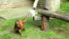 An orangutan baby, adroit on the jungle gym and awkward on the ground. - stock footage