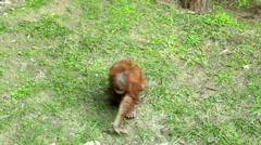 An orangutan baby, Pongo abelii, eating grass on green background. Stock Footage