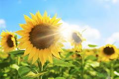 Stock Photo of sunflower and bright sun