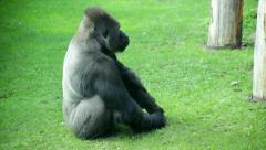 A grazing gorilla male, severe huge silverback, side view, is eating tiny grass. Stock Footage