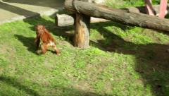 Amusing walking on the ground of an orangutan kid. - stock footage