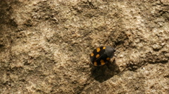 Small beetle walking at the rocks in Sri Lanka Stock Footage