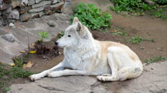 A lean and strong Arctic wolf or polar wild dog, full length view, Stock Footage