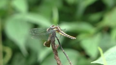 Dragonfly flies from branch Stock Footage