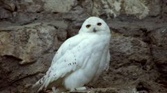 Eye contact with a snowy owl, Nyctea scandiaca, white male. - stock footage