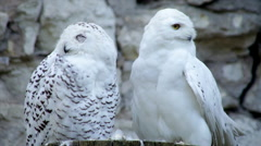Flying away of the snowy owls, white male, and preening of the spotted female. Stock Footage