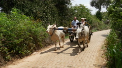 Indian cows with carrier and tourists passing by in Sri Lanka Stock Footage