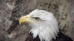The head and shoulders of a bald eagle, haliaeetus leucocephalus, side view. - stock footage