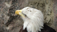 American eagle, haliaeetus leucocephalus, US national character - stock footage