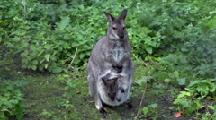 A forest wallaby female, Dendrolagus bennettianus, with kid. Arkistovideo