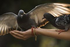 Beautiful pigeon landing on a hand. Stock Photos