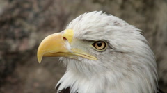 A bald eagle, haliaeetus leucocephalus, looking down, side view - stock footage
