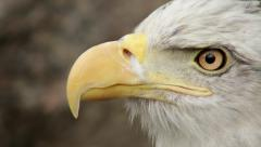 The close up face of a bald eagle, haliaeetus leucocephalus, - stock footage