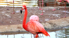 A red flamingo standing in shallow pool and looking around. Stock Footage