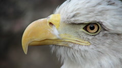 The close up face of a bald eagle side view on the rocky background. - stock footage