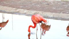A red flamingo, one of the most beautiful bird of the world, Stock Footage