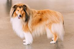 red rough collie dog - stock photo
