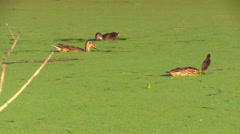 Wild ducks are swimming and looking for food in a pond overgrown duckweed - stock footage