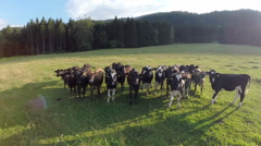 Group of cows at the sunset on the green field Stock Footage