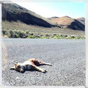 Dead coyote laying on remote road Kuvituskuvat