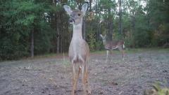 Whitetail Deer Behavior Stock Footage