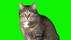 Grey cat sits (medium shot) Stock Footage