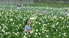 Garden Calla Lily in Taiwan Seven Star Mountain-Yang Ming Shan National Park-Dan - stock footage