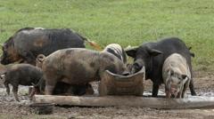 Pigs eating, 4k Stock Footage