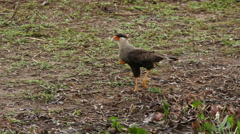 Southern crested caracara, 4k Stock Footage