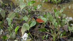 Wattled jacana, Pantanal, 60 fps Stock Footage