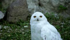Hypnotic stare of a snowy owl, white male, sitting on the green grass Stock Footage
