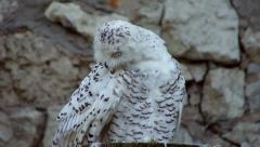 A snowy owl, Nyctea scandiaca, spotted female, sitting on the rocky background Stock Footage