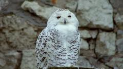 A snowy owl, spotted female, sitting on the rocky background and looking around. Stock Footage