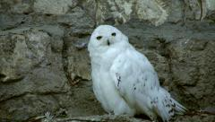 A snowy owl, white male, making preparations for the rest Stock Footage
