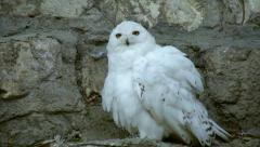 A snowy owl, white male, is fluffing and shaking his feathers - stock footage