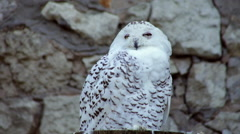 Call of a snowy owl, Nyctea scandiaca, spotted female Stock Footage