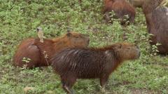 Capybaras with birds on, 4k Stock Footage